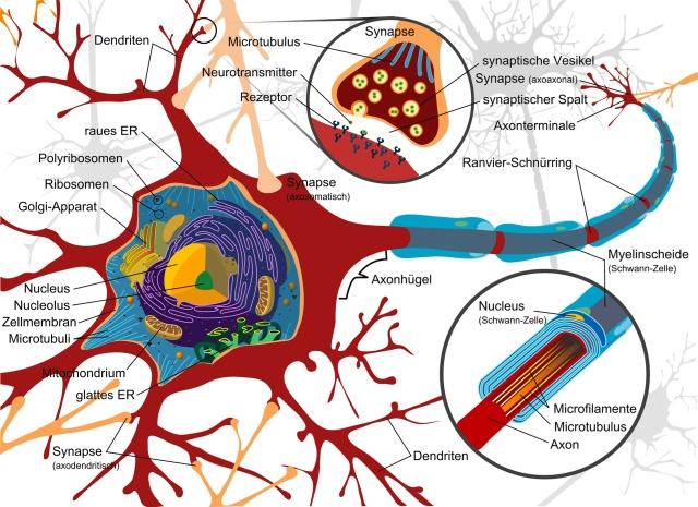 Wie funktioniert unser Nervensystem